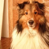 My sheltie by dharialezin