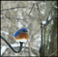 Male Eastern Bluebird II by StormPetral0509