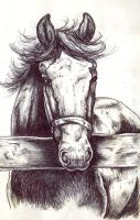Horse Behind Fence Sketch by NewfieArtGirl