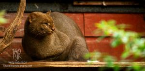 Jaguarundi Profile by Shadow-and-Flame-86