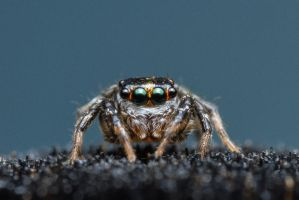 Tiny Jumping Spider by Anrico