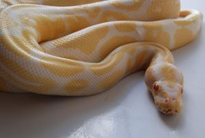 Albino Ball Python 2 by FearBeforeValor