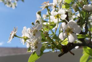 White Pear blossoms 2 by ChibiOtakuSama