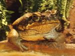Cane Toad by SSJGarfield