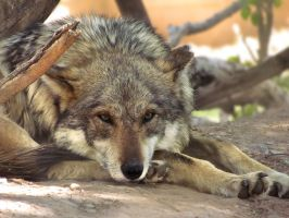 ALZ Apr5: Mexican Wolf 2 by FamilyCanidae