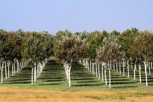 Rows of trees by martaraff