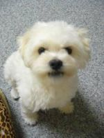 My Malti Poo Dog by PipoMadness1992