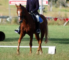 Dressage trot front ridden by Chunga-Stock