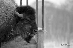 American Bison by Red-Smurfette
