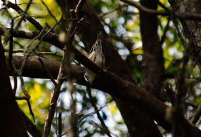 Black-and-white Warbler IX. by swampliquor