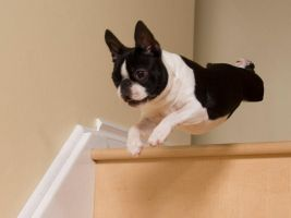 Boston Terrier Flying 2 by Kaieleigh