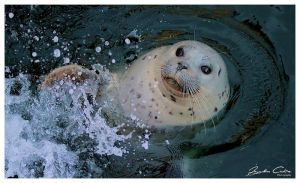 Wild Canadian Seal clapping by jaydoncabe