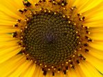 Sunflower Macro by DeviantFotografer