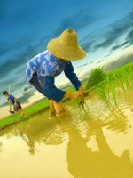 the rice filed by nask0