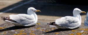 Two Resting Gulls by BlueFireVixon