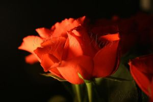 Night Rose by Pzychonoir