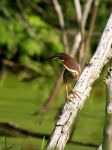 Green Heron I by natureguy