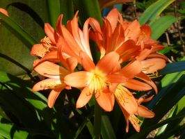 Orange Lily, Quinta da Regaleira,Sintra,Portugal 2 by SrTw
