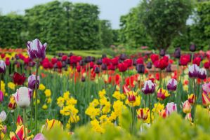 13-05 tulips #2 by evionn