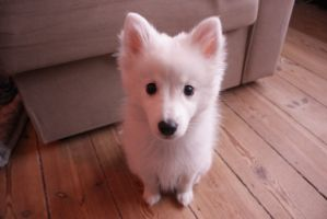Japanese Spitz puppy 1 by MochaCat