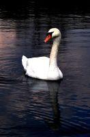 Swan by Disintegrated8