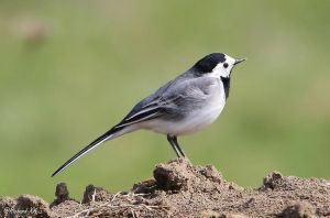 Motacilla alba by RichardConstantinoff