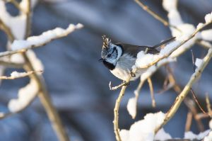 Crested Tit by Nitrok