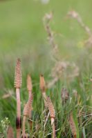 Field Horsetail by JetteReitsma