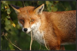 The Sly Fox by nitsch