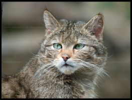wild eyes by morho