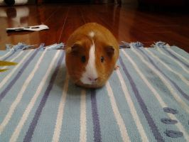 Carrot the BORED Guinea pig by Dedejeans