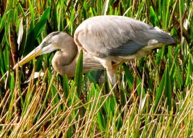 Great Blue Heron by bluesMuse1008