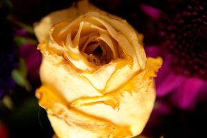 Dried Rose by LDFranklin