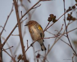 Yellow rumped Myrtle Warbler by natureguy
