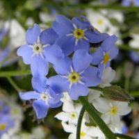 forget-me-not by Mittelfranke