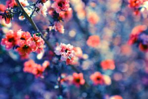 Peach Blossom by Mars-Hill