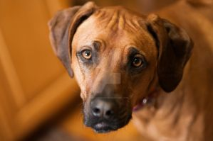 Rhodesian Ridgeback Dog by houstonryan