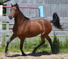 Bay morgan trot and bend by equustock