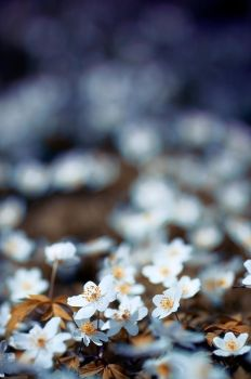 wood anemones by waoff