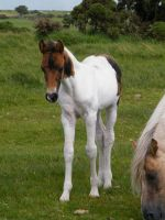 Moorland Foal 5 by The-strawberry-tree