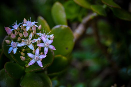 Succulent flowers by ItBazooka