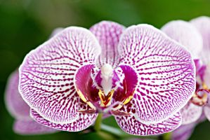 Orchid flowers 3 by a6-k