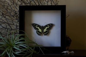 Citrus Swallowtail by TheButterflyBabe