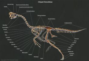 Citipati Osmolskae Skeleton Study by TheDragonofDoom