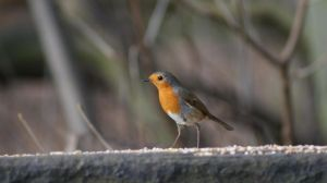Robin Red Breast by BoyWonderRobin