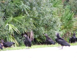 Black Vultures 043 by TheGreatWiseAss
