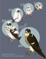 Peregrine Falcon Growth Chart by Anceylee-Star