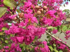 Crepe Myrtle (Lagerstroemia indica) by redwolfoz