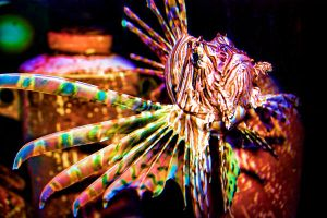 Colorful Lion Fish by heatherae