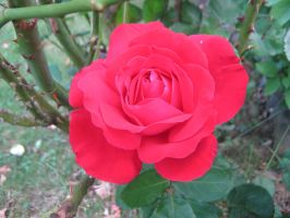 Blood red rose by Izzy-Nightshade